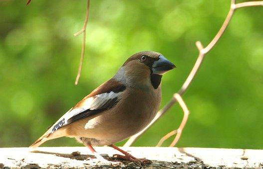 Grosbeak, Coccothraustes Coccothraustes, Bird, Males
