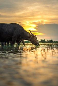 Buffalo, Outside Of The House, Thailand, Countryside