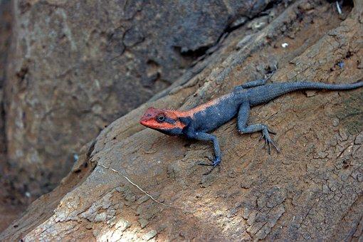 Psammophilus Dorsalis, Peninsular Rock Agama, Lizard