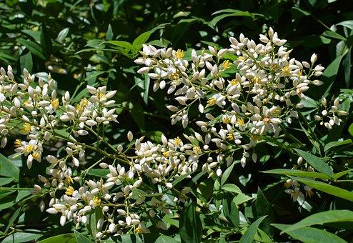 Nandina Flowers Opening, Heavenly Bamboo, Shrub, Flower