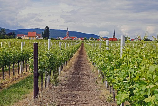 Palatinate, Winegrowing, The Upper Rhine Level