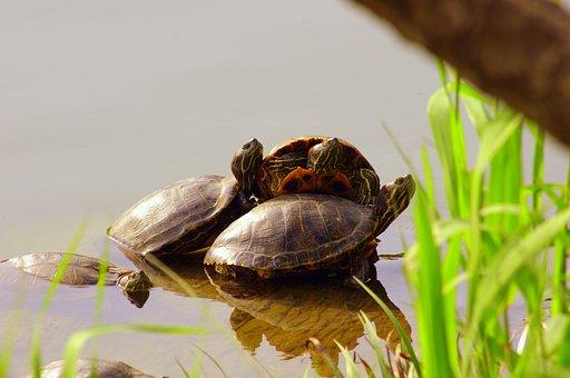 Turtle, Pond, Clean, 3 Animals, Sun