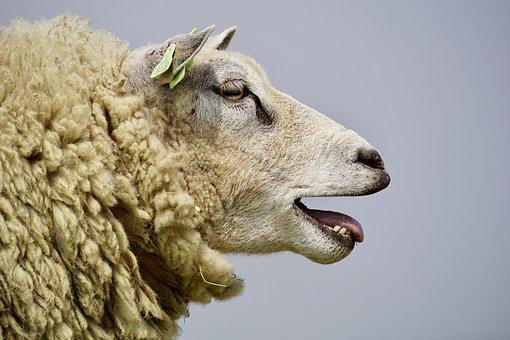 Sheep, Bleat, Wool, Concerns, Grass, Chill Out, Rest