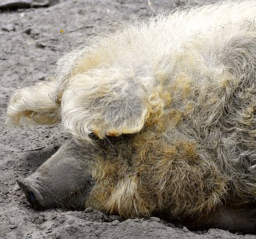 Wool Pig, Proboscis, Lure, Pigs Ears, Sleep, Sand, Rest