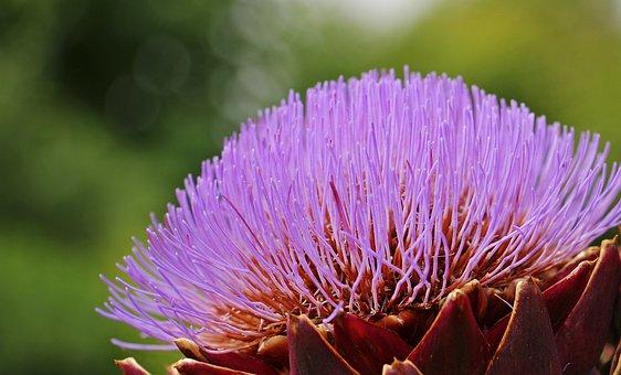Artichoke, Artichoke Flower, Blossom, Bloom, Food