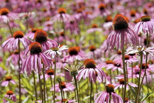 Coneflower, Flower, Sun Hat, Blossom, Bloom