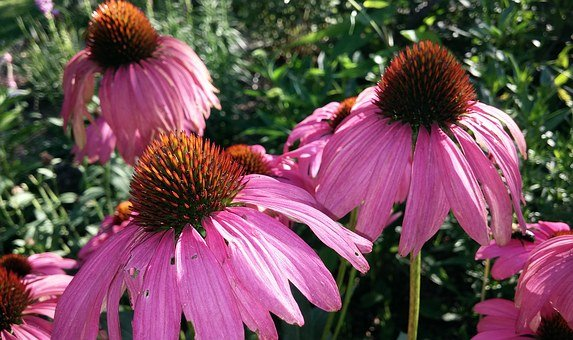 Coneflower, Echinacea, Flower, Cone, Echinacea Purpurea
