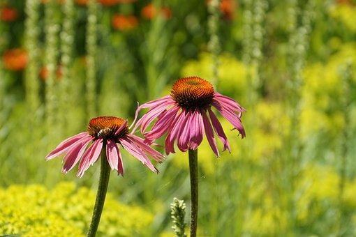 Coneflower, Echinacea, Flower, Echinacea Purpurea