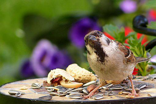Bird, Sparrow, Passer Domesticus, Feeding Place, Garden
