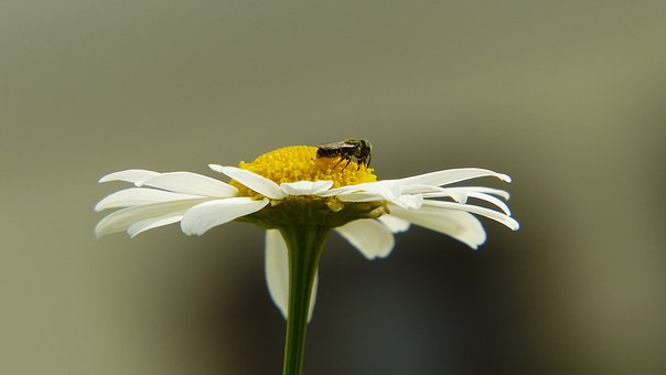 Chamomile, Insect, Fly, Medicinal Herb, Medicinal Plant