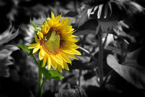 Wallpaper, Background, Gold Sun, Beauty Flower, Yellow