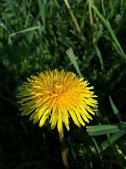 Dandelion, Grass, Wildflower, Lawn, Lawn Care, Summer