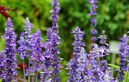 Sage, Plant, Purple, Medicinal Plant, Green, Flowers