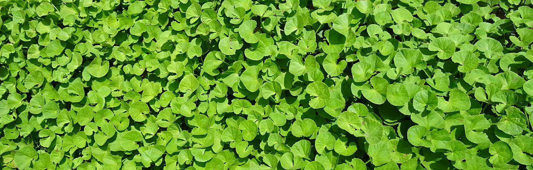 Plant, Herb, Medicinal, Indian Pennywort, Coinwort