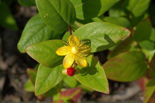 St John's Wort, Herb, Medicinal Plant