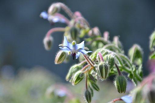 Borago Officinalis, Borage, Plant, Summer, Houses