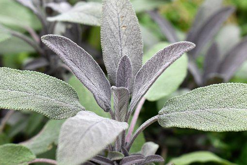 Sage, Plant, Medicinal Plant, Nature, Green, Leaves