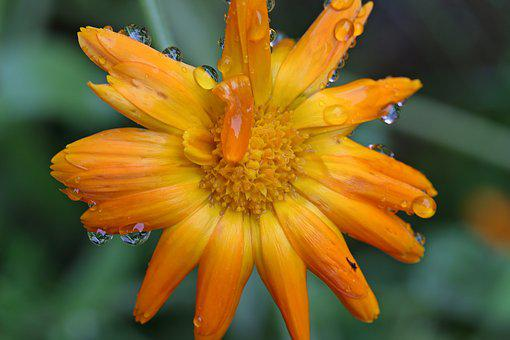 Marigold, Calendula, Yellow, Orange, Blossom, Bloom