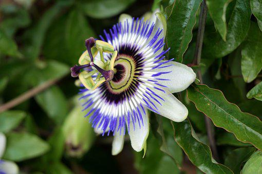 Passionflower, Flower, Nature, Blue Passionflower