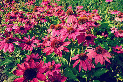 Cone Flower, Purple Cone Flower, Flower, Plant