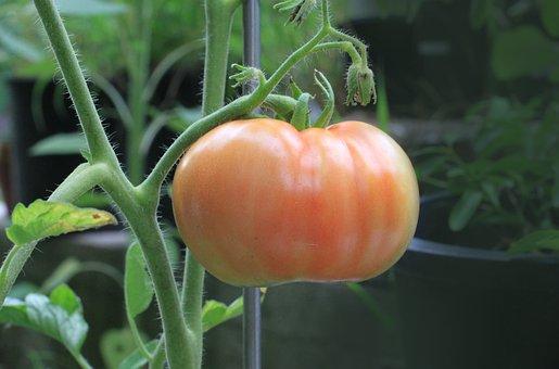 Tomato, Food, Nutrition, Plant, Garden, Ripening