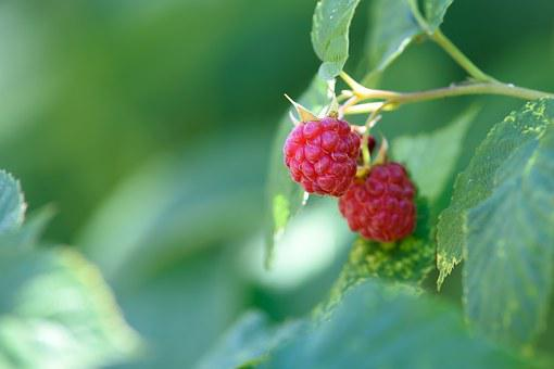 Raspberry Garden, Garden, Fruit, Lean, Sweet, Sad, Soft