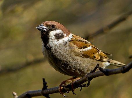 Sparrow, Sperling, Bird, Sitting, Branch, Garden