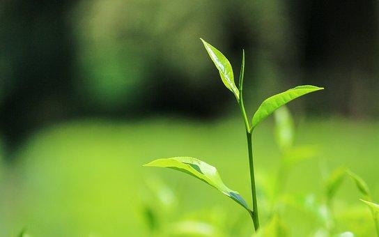 Tea, Ceylontea, Srilanka, Tealeaves, Nature, Green