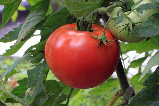 Tomato, Vegetable, Food, Plant, Garden, Ripe, Single