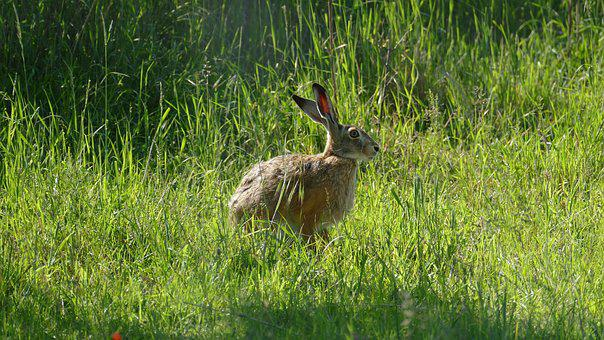 Animal, Hare, Wild, Nature, Rodent, Long Eared, Easter
