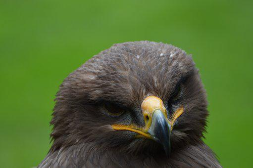 Steppenarend, Eagle, Bird Of Prey, Bird, Beak, Zoo