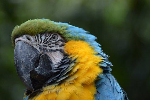 Blauwegele Ara, Parrot, Bird, Ara, Animals, Plumage