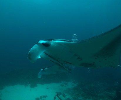 Maldives, Manta Rays, Diving, Underwater, Blue Water