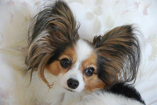 Adult, Dog, Breed Is Papillon