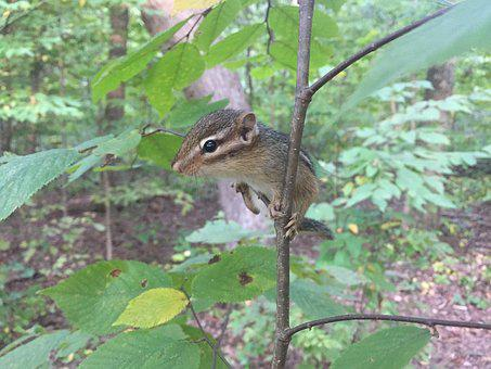 Chipmunk, Tree, Forest, Rodent, Small Animal, Chippy