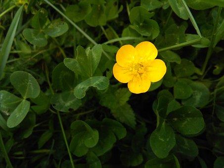 Cute, Little, Yellow, Flower, Nature, Clovers, Green