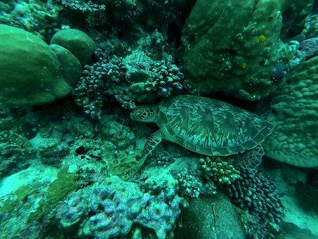 Turtle, Maldives, Diving, Underwater, Divers, Coral