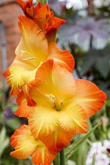 Gladiolus, Flower, Floral, Green, Nature, Summer, Plant