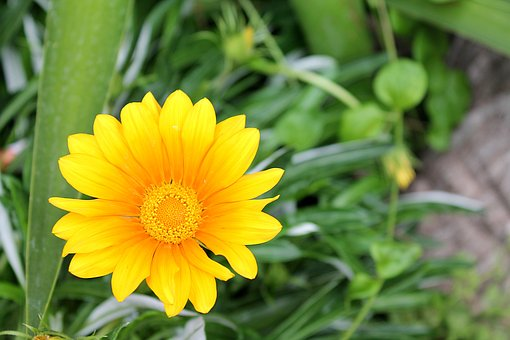 Gazania, Gazania Harsh, Aster Family, Garden Flowers