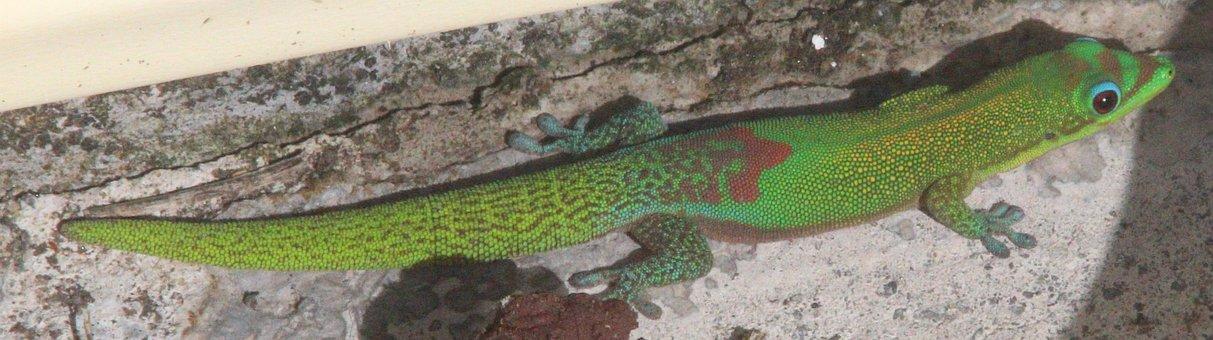 Gecko, Hawaii, Nature, Animal, Lizard