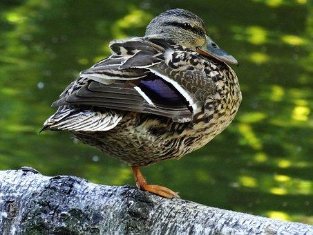 Kaczor, Wild Ducks, Water Bird, Wild Birds