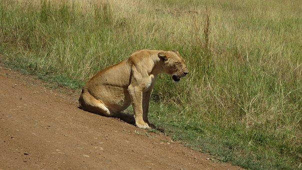 Lioness, Africa, Masai Mara