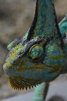 Chameleon, Helmkameleon, Lizard