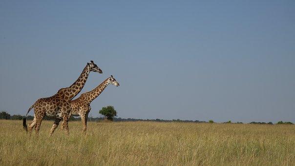 Giraffe, Africa, Masai Mara