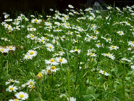 Daisy, Daisies, Meadow, Flowers, Spring, Nature