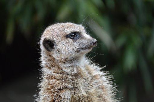 Meerkat, Erdmännchen, Oliemeulen, Tilburg, Pixie