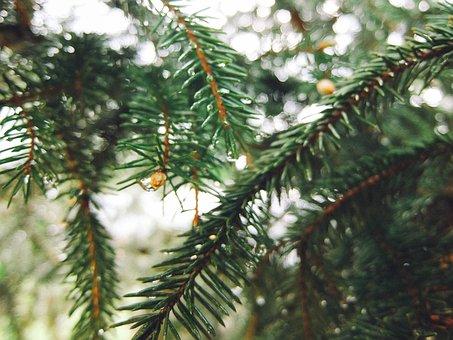 Spruce, Christmas Tree, Tree, Branch, Conifer, Needles