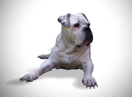 Dog, Bulldog, Oldebulldog, Pet, White Background