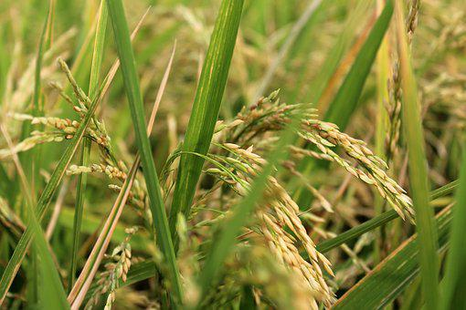 Rice Planet, Rice, Field, Planet, Green, Farm