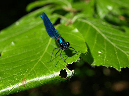 Dragonfly, Blue-winged Demoiselle, Small Dragonfly